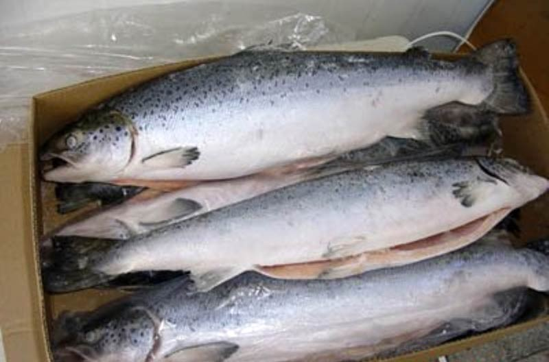 FROZEN SALMON, ATLANTIC (Salmo salar) SEA FOOD ...