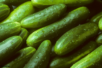 New Crop fresh cucumber / fresh green cucumber price