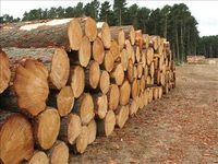 Eucalyptus wood logs for sale