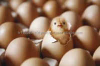 ..Chicken Table Eggs & Broiler hatching eggs Cobb 500// Broiler hatching eggs Cobb 500