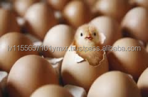 Chicken Table Eggs & Broiler hatching eggs Cobb 500