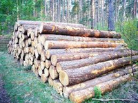 Best Quality cypress logs for export