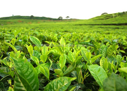 H_Vietnam supplier famous natural GREEN TEA for hot sale