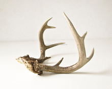 Red Deer Antlers and Horns