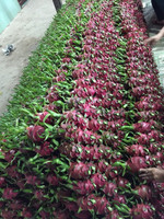 Best Price Vietnam Dragon Fruit