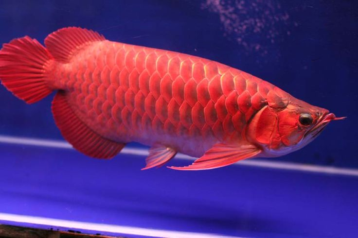 DISCOUNT PRICE !!! Chili Red Arowana Fish Available on sale