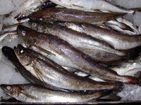High quality New catching frozen style whole round Spanish Mackerel / King fish / Seer fish on Promotion sale frozen seafood