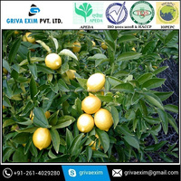 Best Grade New Season Crop Fresh Lemon at Wholesale Price