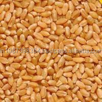 Export Quality lokwan wheat