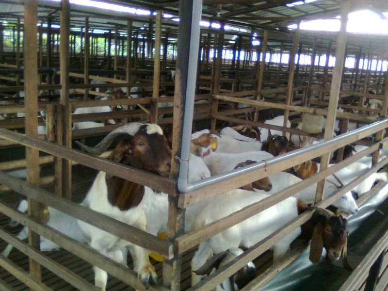100% Full Blood Boer Goats Live Sheep Cattle Lambs and Cows alive boer goats for sale