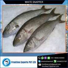 High Quaility Seafood Frozen White Snapper