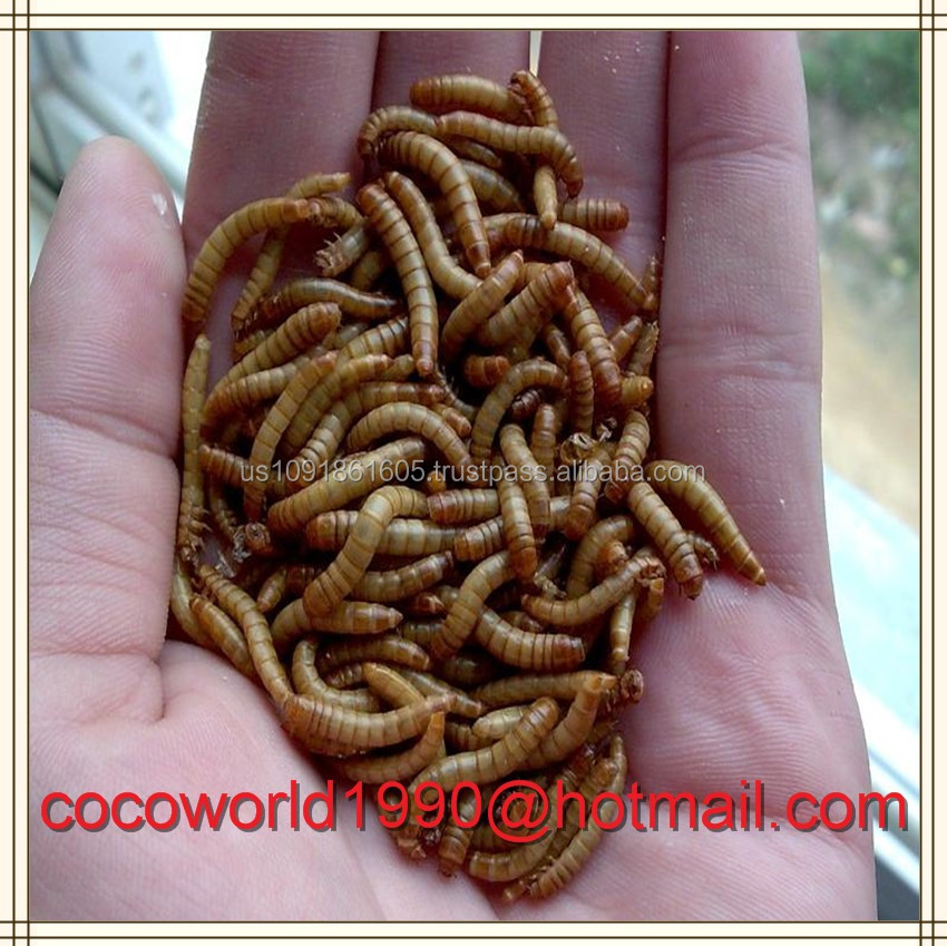 dried mealworms tenebrio molitor as fish food