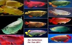 Asian Red Arowana Fish for sale