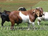 Healthy Full Blood Boer Goats, Live Sheep, Cattle, Lambs and Cows Ready for sale