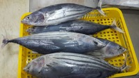 SEA FROZEN SKIPJACK TUNA