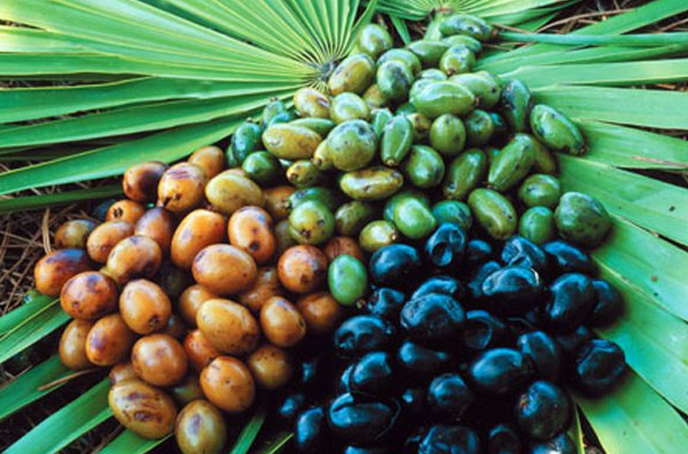 SAW PALMETTO EXTRACT (Total fatty acids 90%) Men's Health Support