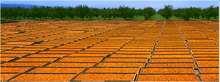 New crop best price turkish dried apricots for sale