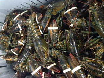 Live Canadian Lobster - Buy Live Boston Lobster Product on Alibaba.com