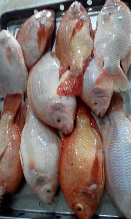 Frozen Red tilapia Whole round / Fillet/ WGGS