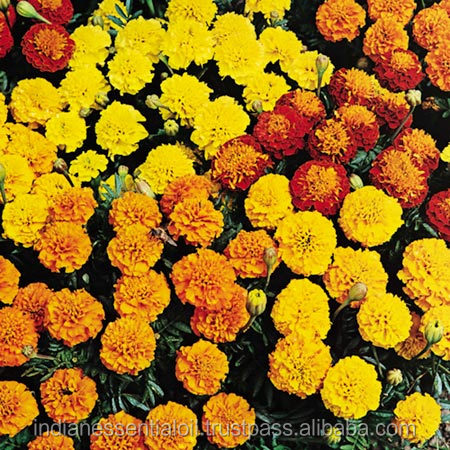 Marigold pure essential oil 100%