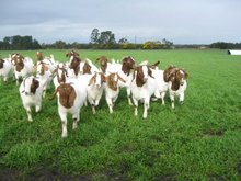 Certified Live Boer Goats for Sale