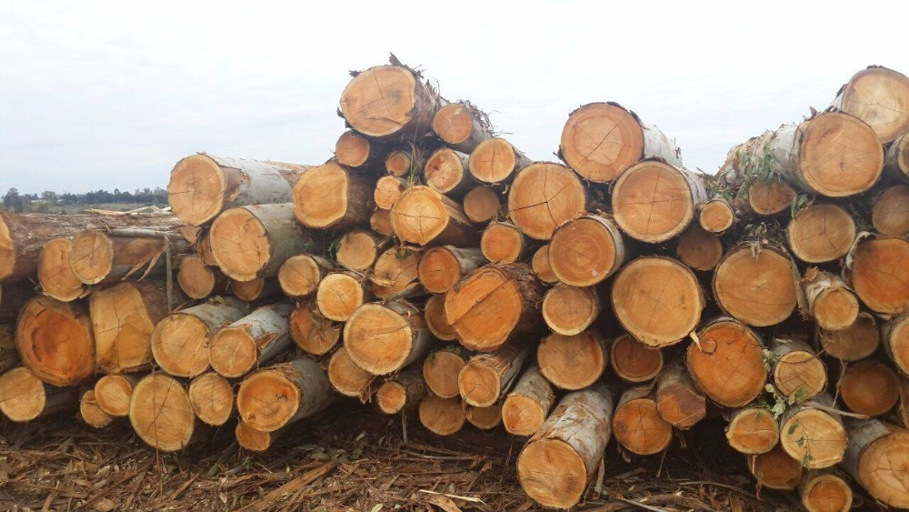 buy Eucalyptus wood logs from natural forest