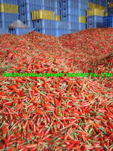 Fresh Chilli - BEST PRICE & NEW CROP 2014