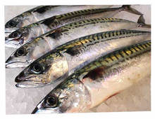 Frozen Capelin Fish,Halibut Fish, Whole Herring Fish , Atlantic Mackerel Fish