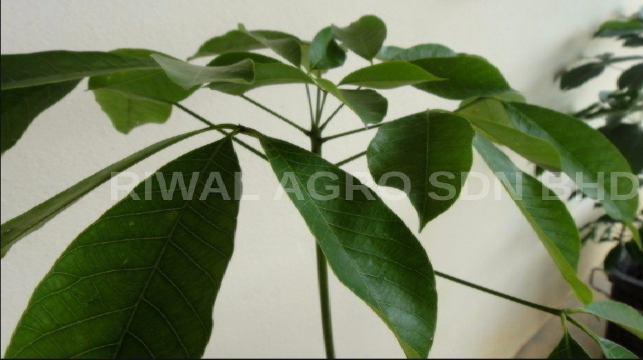 Malaysia High Grade Rubber Tree RRIM928 Plantation