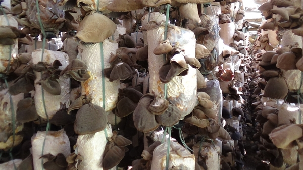 Dried Black fungus 100% natural Made In Vietnam