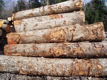 WHITE OAK LOGS-SAWN AND VENEER GRADE LOGS FROM PLLAND