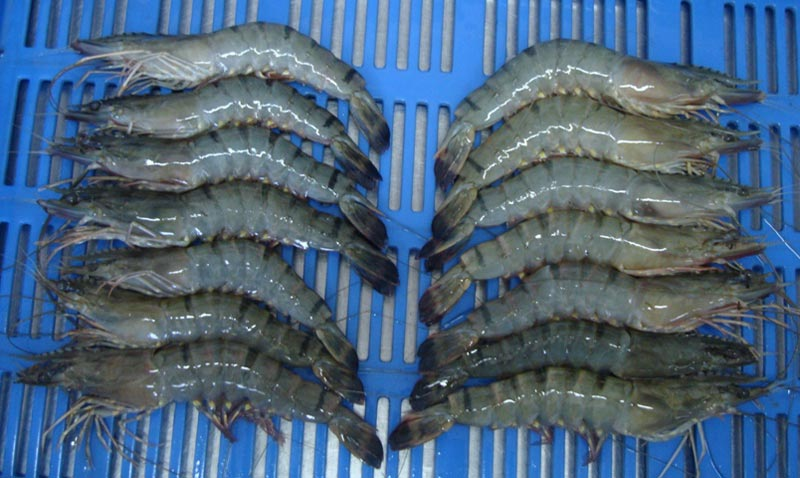 Frozen Fresh Shrimp/Seafood/Black Tiger Prawn