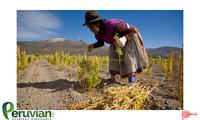ORGANIC QUINOA cereal grain from Peru