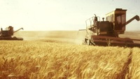 Ukraine fodder Wheat, forage wheat, animal wheat grain