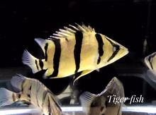 Exporter wholesale ornamental live tropical aquarium fish from Thailand