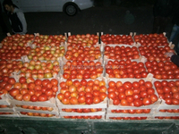 Maturity Of Tomato /Fresh Tomato
