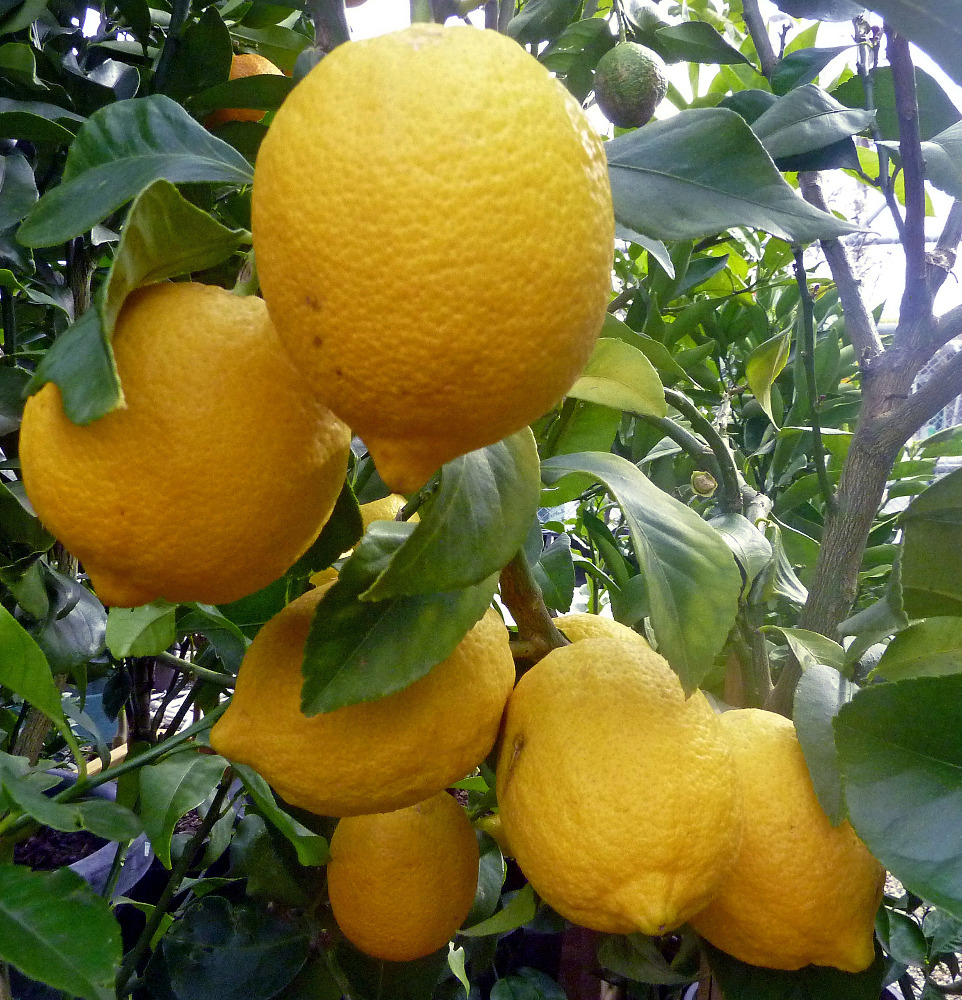 Fresh Citrus Fruits /Yellow Lemon & Green Lime, yellow Eureka fresh lemon.