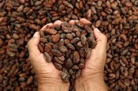 Sell Cacao Bean / Cocoa (Organic Certified) Thailand