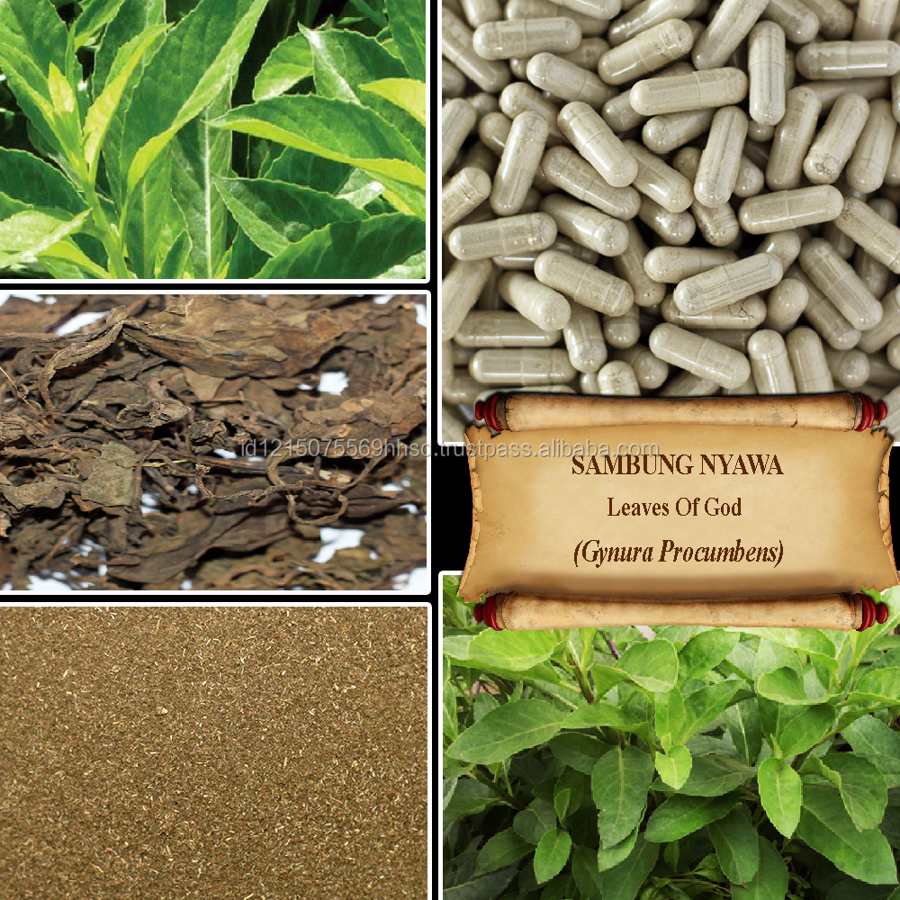[ORGANIC] LEAVES OF GOD / Longevity Spinach / Sambung Nyowo / Gynura Procumbens / Fresh Powder, Extract, Capsules, Liquid, Oil