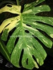 "PHILODENDRON ""MONSTERA GIANT VARIEGATED"
