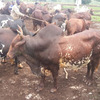 BEST SPECIES OF LIVE CATTLE FROM