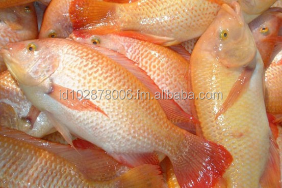 Tilapia Frozen or Fillet
