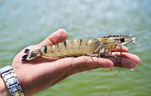 effective microorganisms for shrimp