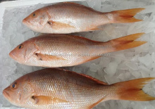 Wild Caught Fresh White Snapper Fish