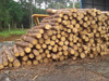 SOUTHERN YELLOW PINE TAEDA LOGS