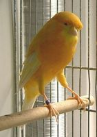 Lancashire Canary/Frill Canary Birds/Yorkshire Canary Birds, Finches