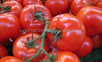 FRESH FARM TOMATOES FROM SOUTH AFRICA