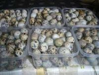 Fresh fertile quail eggs.