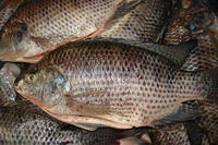Tilapia Bream 300-500G Frozen Fish Nile Hot Sale in Africa