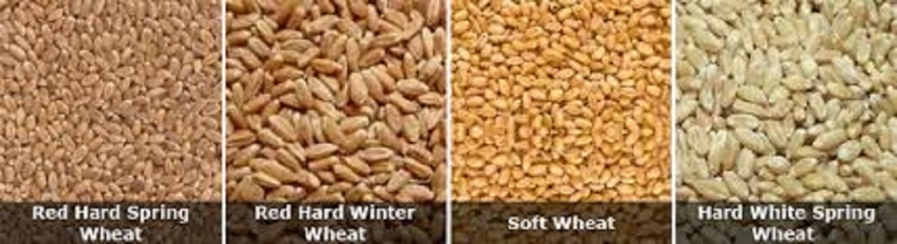 Hard White wheat for sale at good price Hard White wheat